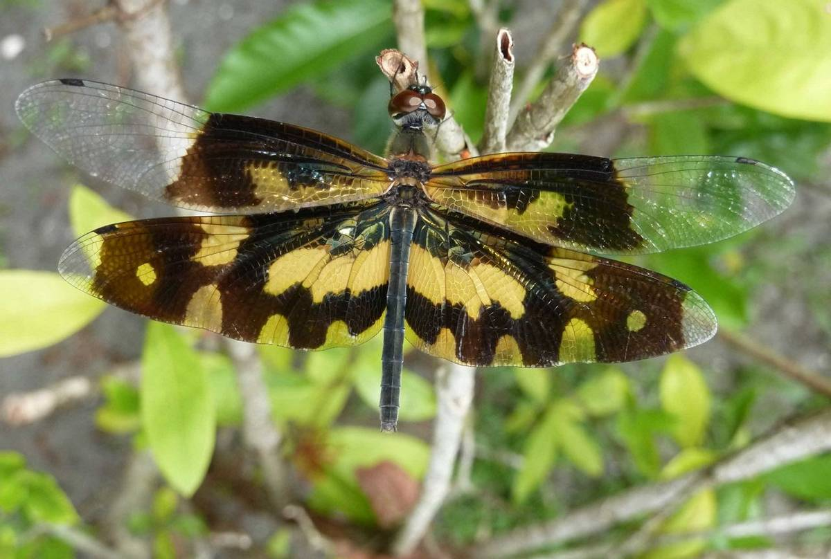 Common Picture Wing (female), Rhyothemis variegata (Steve Dutmer)