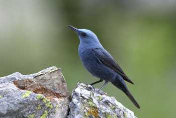 Blue Rock Thrush Shutterstock 752456872