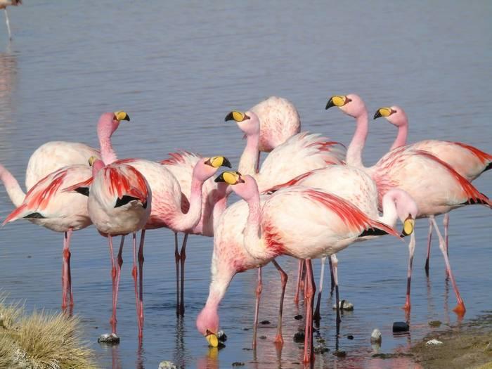James's Flamingo shutterstock_1553014829.jpg
