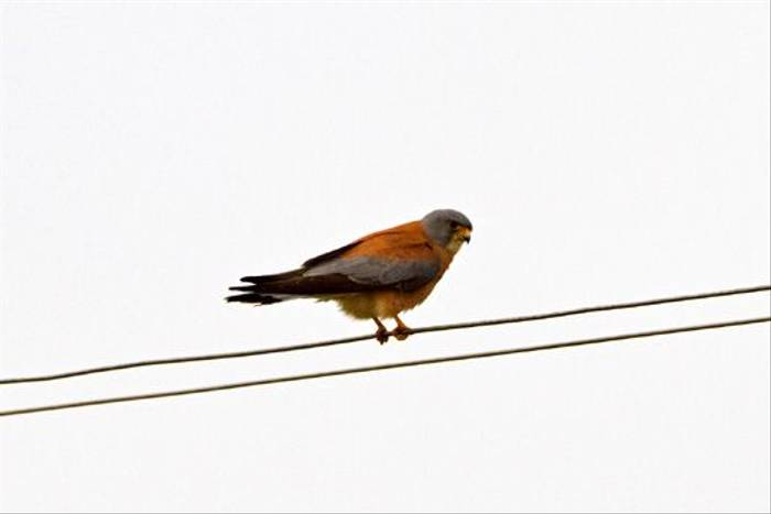 Lesser Kestrel (Alan Curry)