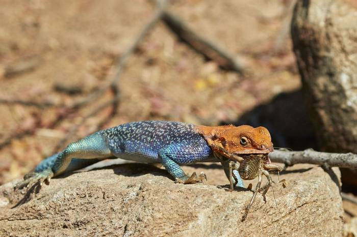 Common Agama (Andrew Griffin)
