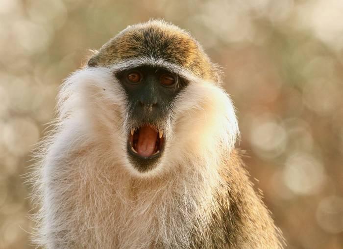 Grivet Monkey.jpeg