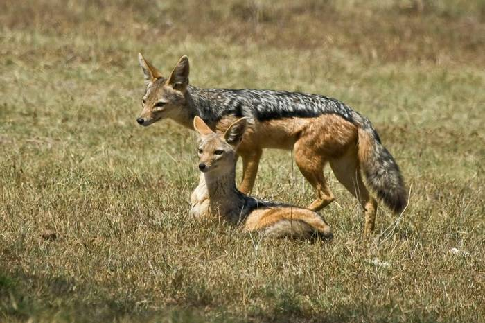 Black-backed Jackal, Lake Nakuru