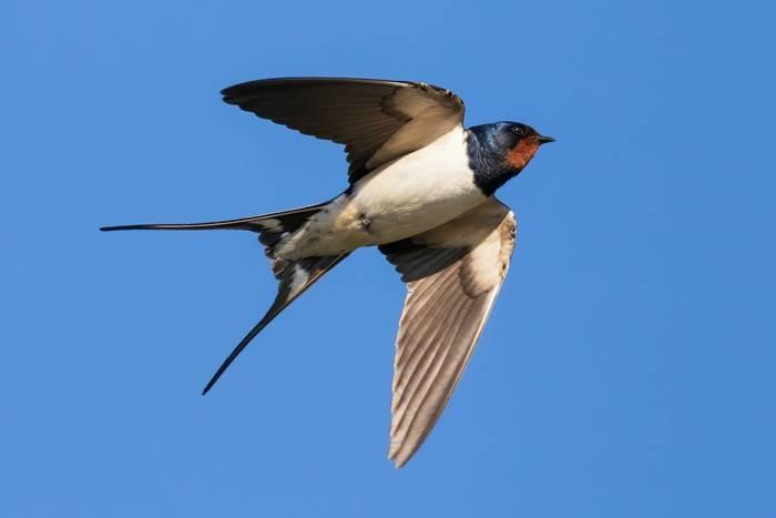 Swallow shutterstock_1740607679.jpg