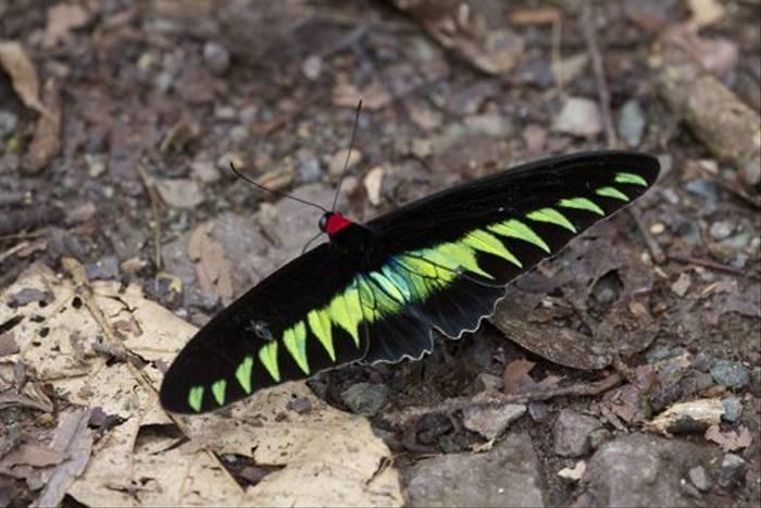 Rajah Brooke's Birdwing (Dani Free)