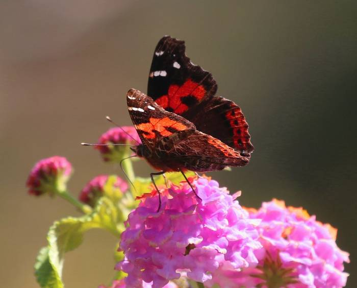 Canary Red Admiral 5