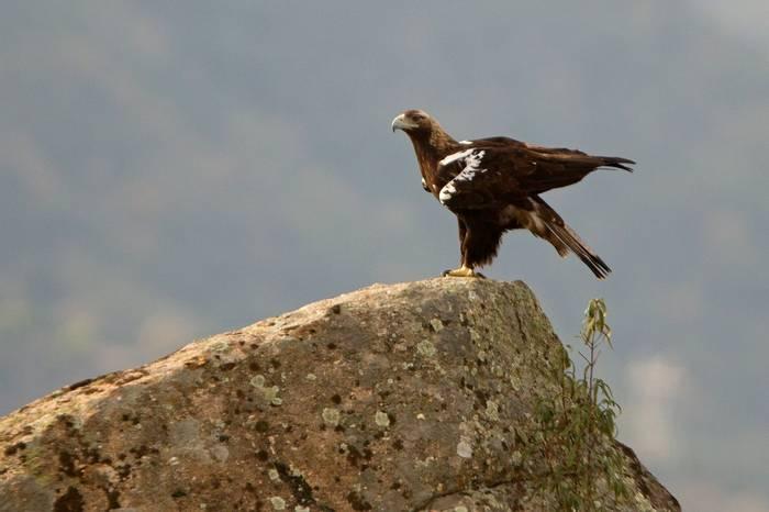 Spanish Imperial Eagle shutterstock_1008167122.jpg