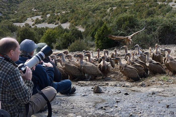Watching Griffon Vultures (John Willsher)