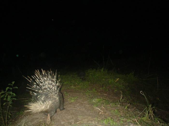 Indian Crested Porcupine, Koshi Tappu