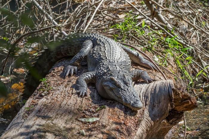 Siamese Crocodile shutterstock_382031986.jpg