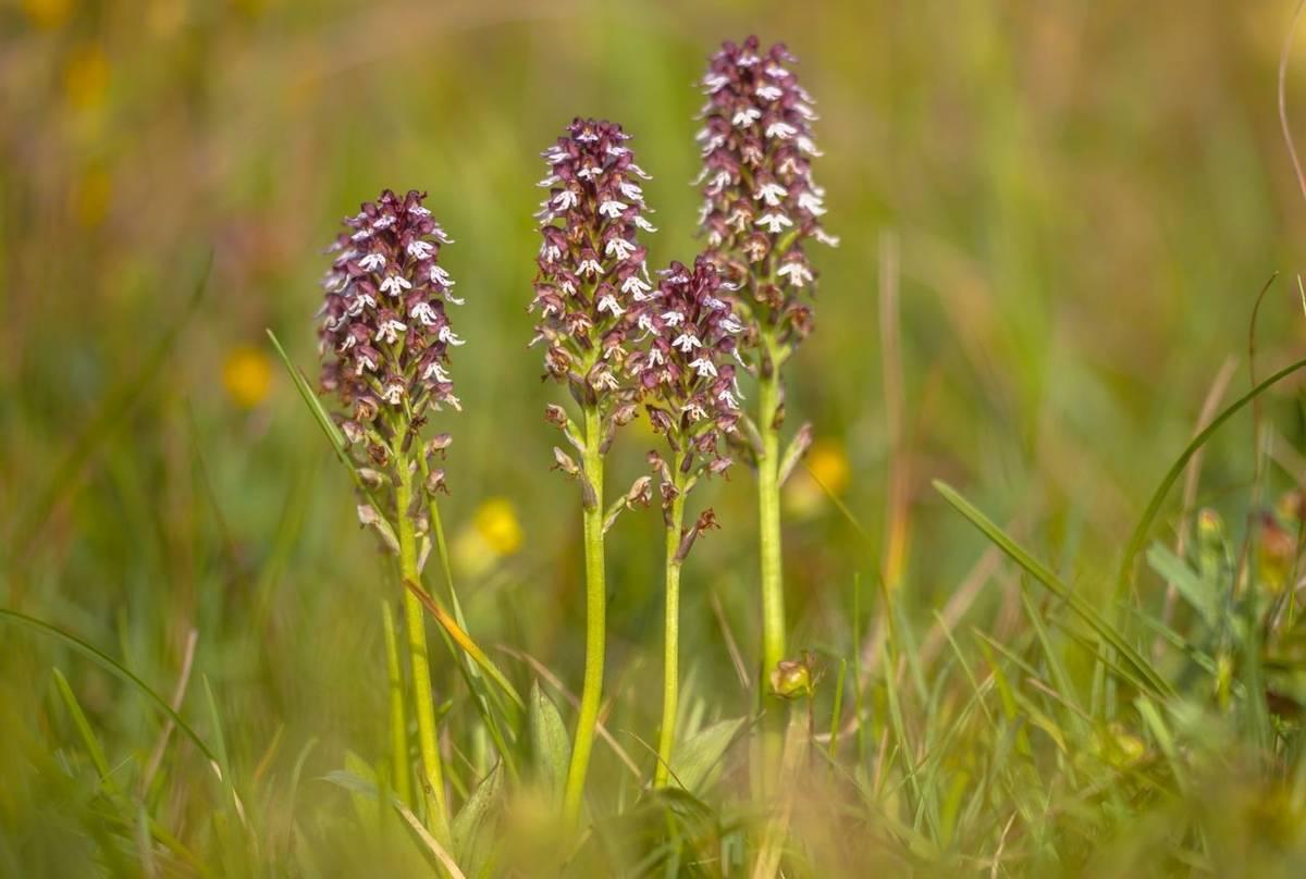 Burnttip Orchid Shutterstock 777322687