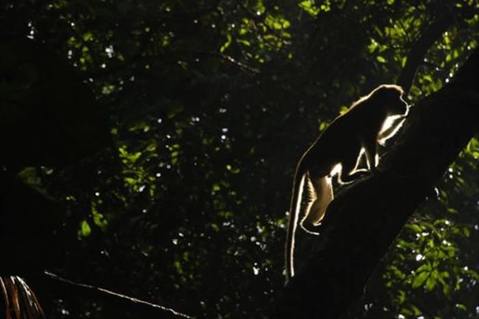 Toque Macaque (Thomas Mills)
