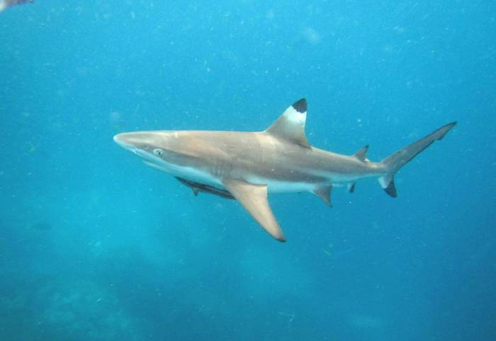 Blacktip Reef Shark © Charles Anderson