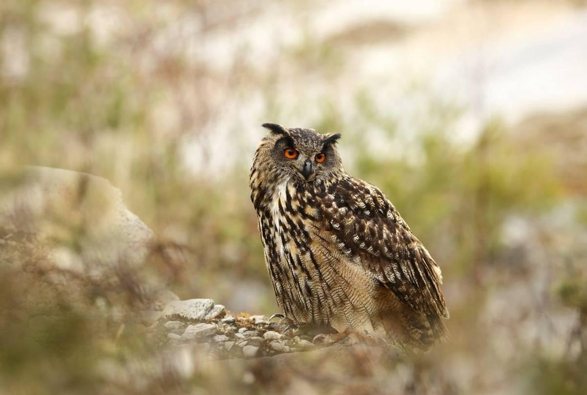 Eagle Owl Shutterstock 414510823