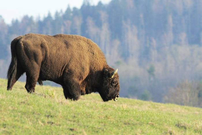 European Bison (Jan Kelchtermans)