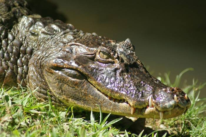 Spectacled Caiman (Brian West)