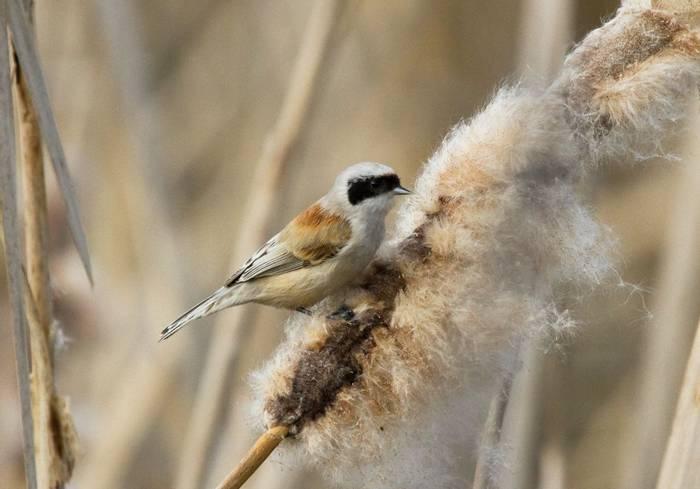Penduline Tit. Shutterstock