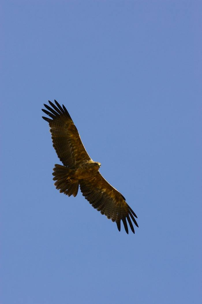 Golden Eagle shutterstock_7651954
