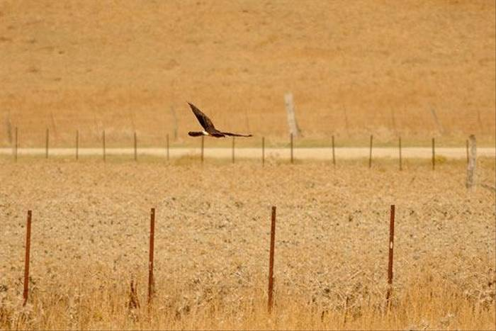Montagu's Harrier (David Morris)