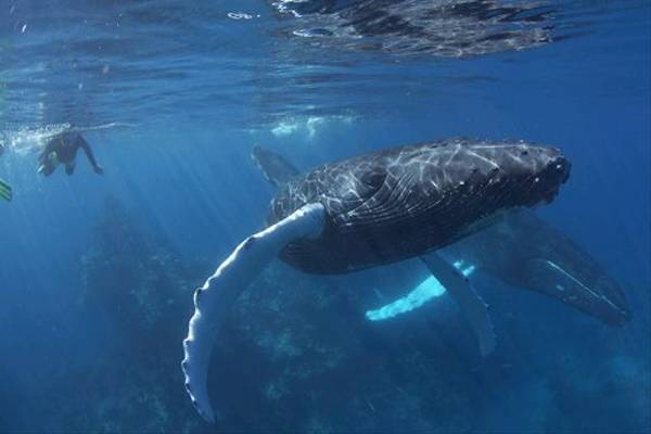 Swimming with a Humpback and young