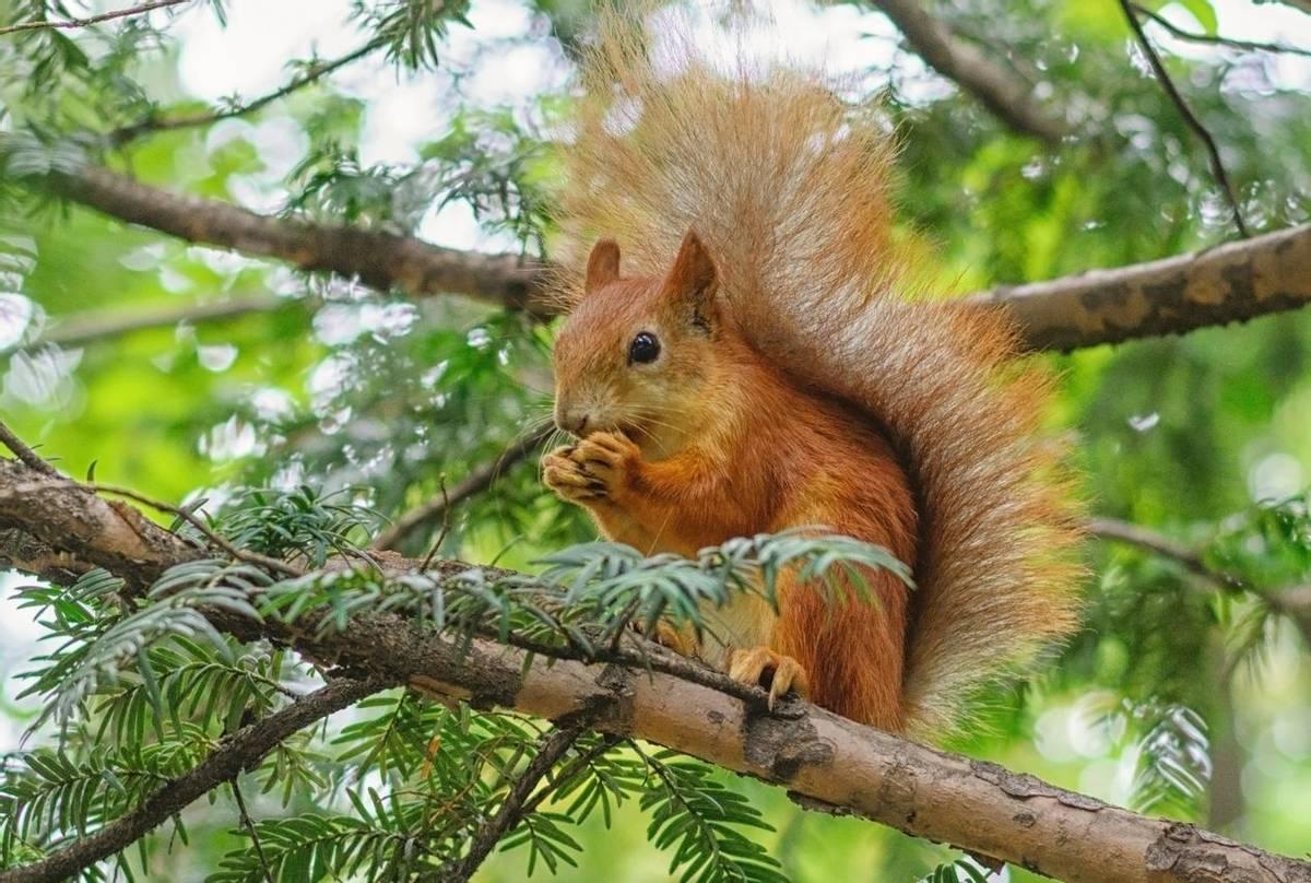 Red-Squirrel-shutterstock_704889118.jpg