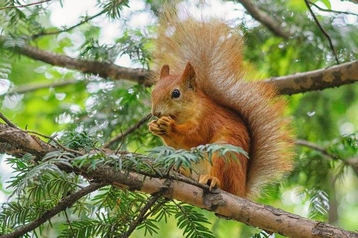 Red-Squirrel-shutterstock_704889118.jpg