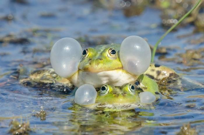 Edible Frogs (Tim Melling)