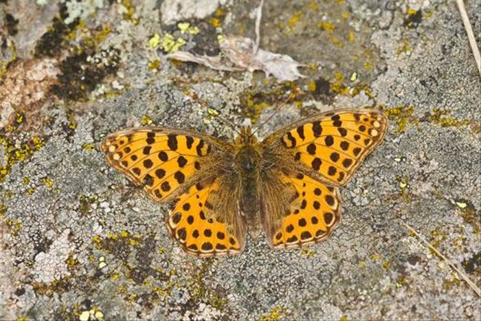 Queen of Spain Fritillary (David Morris)