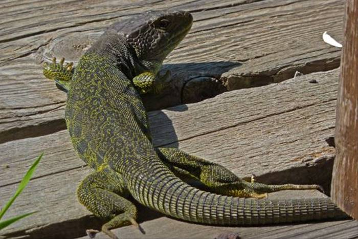 Ocellated Lizard (Byron Palacios)