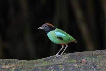 Hooded Pitta Shutterstock 699883588