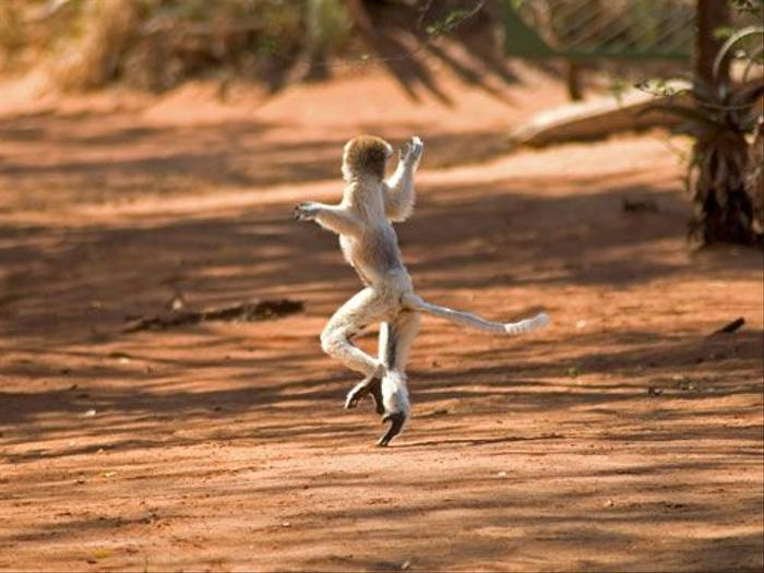 'Dancing' lemurs (Paul Stanbury)