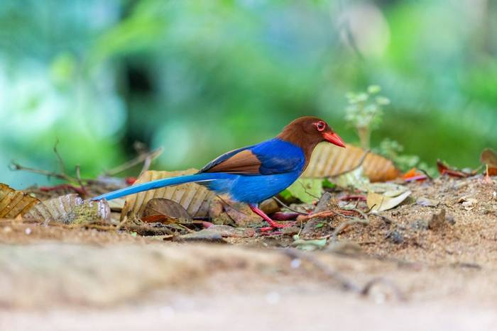 Sri Lanka Blue Magpie, Sri Lanka shutterstock_1486289261.jpg