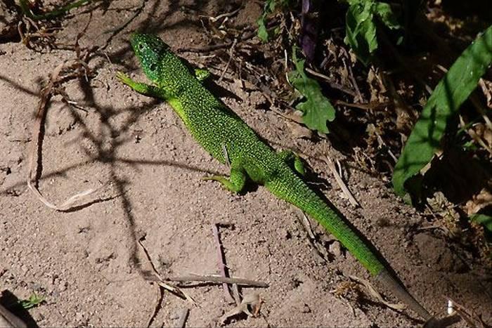 Western Green Lizard (Tom McJannet)