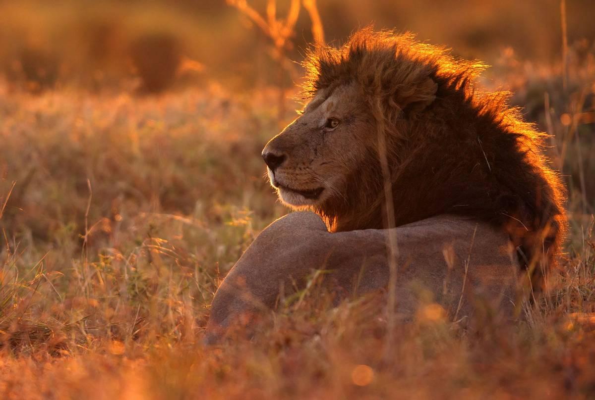 Lion,-Kenya-shutterstock_652223263.jpg