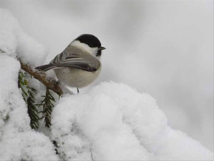 Willow Tit (Michael Bergman)