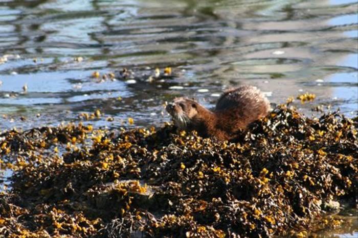 Otter (Dave Pierce)