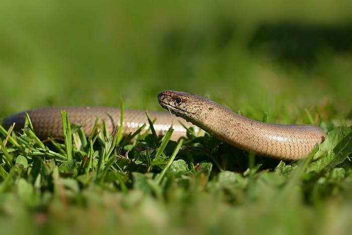 Slow Worm (Russ Hedley)