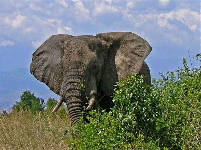 African Elephant (Tom McJannet)