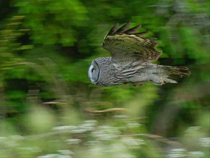 Great Grey Owl flight (Stefan Oscarsson)