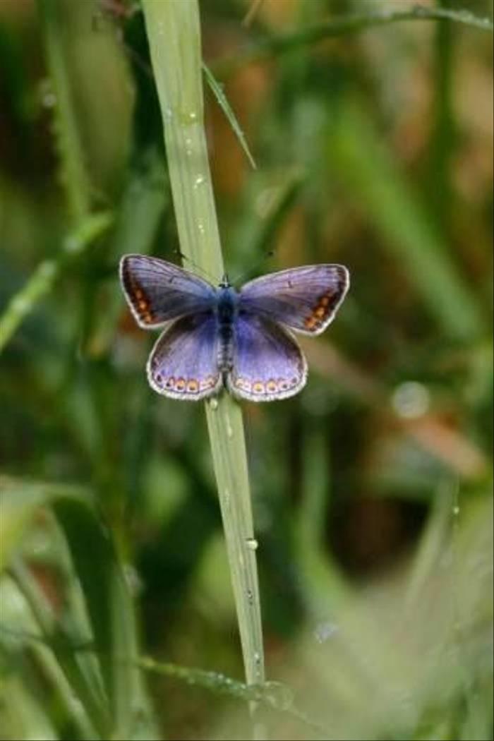 Common Blue (Daniel Green)
