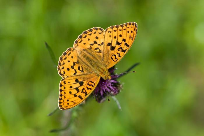 High Brown Fritillary shutterstock_111502115.jpg