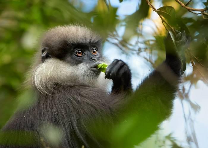 Purple-faced Leaf Monkey, Sri Lanka shutterstock_372385477.jpg