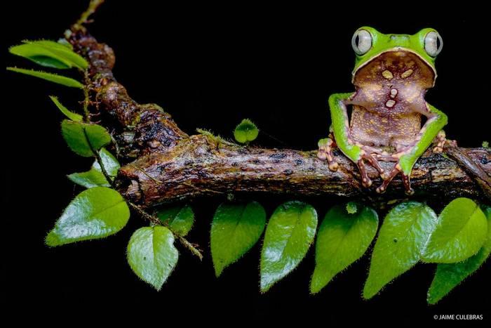 White-lined Monkey Frog (Phyllomedusa vaillanti) - Jaime Culebras