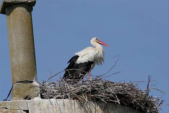 White Stork (Peter Dunn)