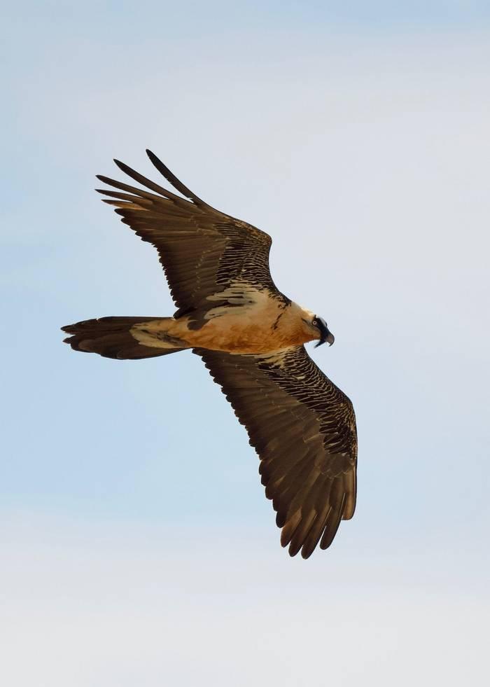 Bearded Vulture (Chris Piper)