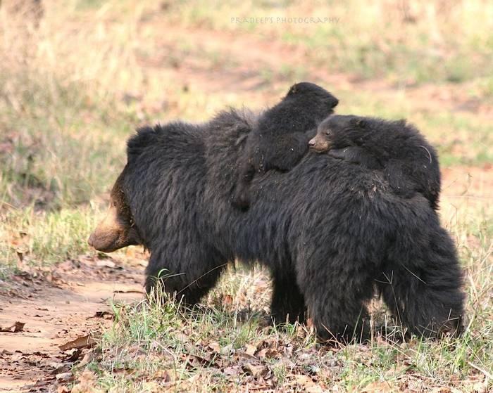 Sloth Bear with cubs (copyright Pradeep Singh)