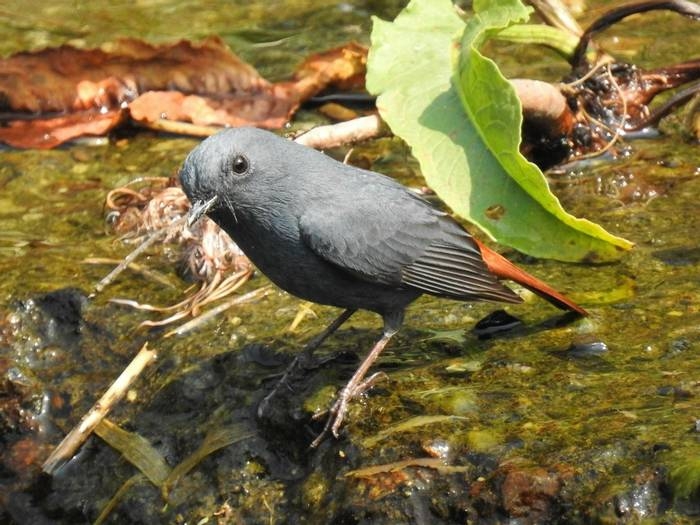 Plumbeous Redstart by Martin Overy