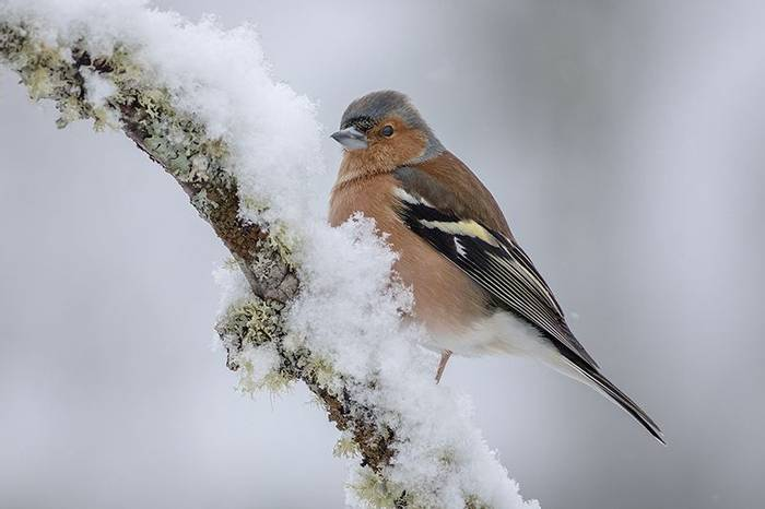 Chaffinch (Robert Harvey)