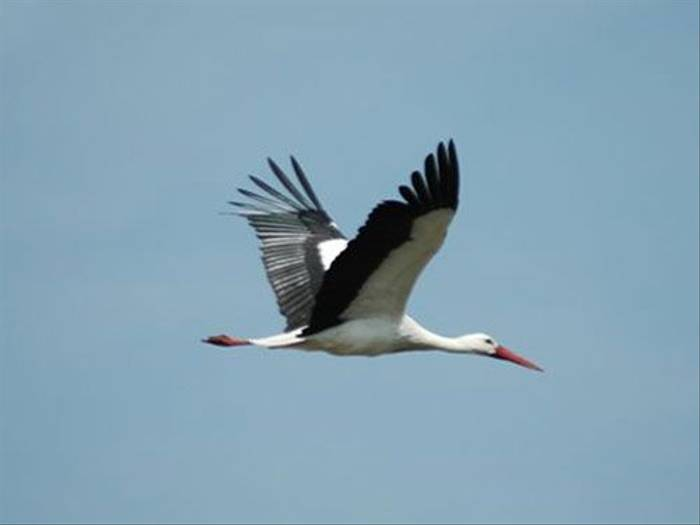White Stork (Becky Clews)