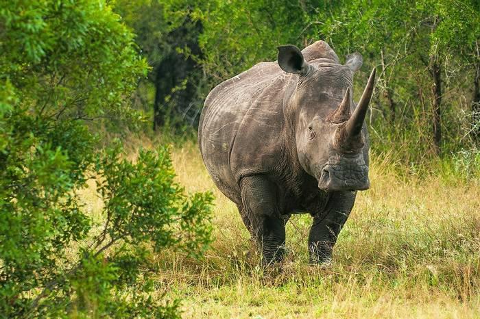 Kruger,-South-Africa,-White-Rhino,-shutterstock_1125453071.jpg